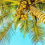 Bahama Coconut Fragrance Oil 14982