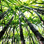 Bamboo Sugar Cane Fragrance Oil 14986