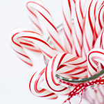 Candy Cane Fragrance Oil 15150
