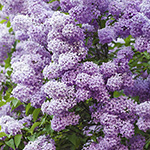 Fresh Lilac (KY) Fragrance Oil 15544