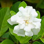 Gardenia (LW) Fragrance Oil 15573