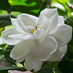 Gardenia Fragrance Oil 15569