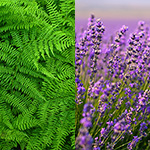 Ming Fern & Lavender Fragrance Oil 15821