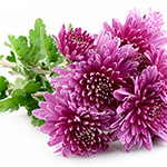 Vanilla Kissed Chrysanthemum Fragrance Oil 17011